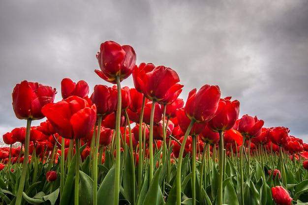 Flacher winkelschuss einer roten blume, die mit einem bewölkten himmel im hintergrund abgelegt wird