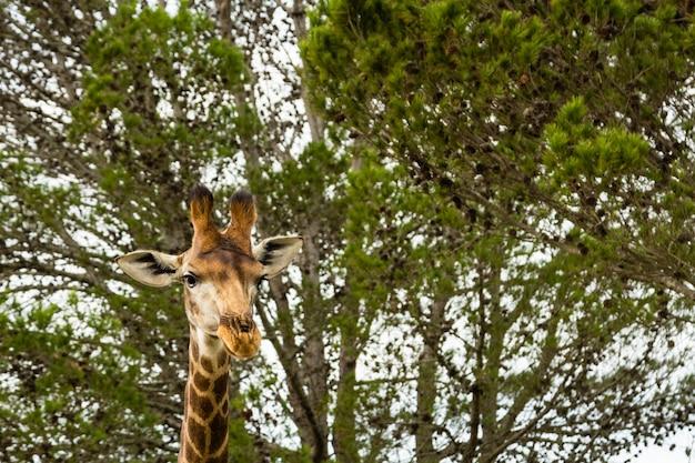 Flacher winkelschuss einer schönen giraffe, die vor den schönen bäumen steht