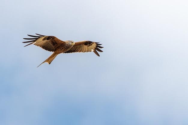 Flacher winkelschuss eines adlers, der unter einem klaren blauen himmel fliegt