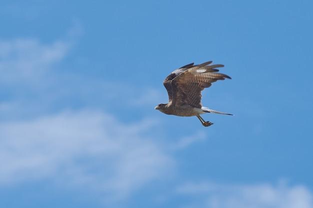 Flacher winkelschuss eines falken, der in einem klaren blauen himmel fliegt