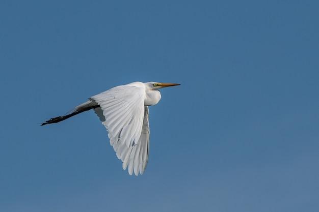 Flacher winkelschuss eines pelikans, der im einfachen blauen himmel fliegt