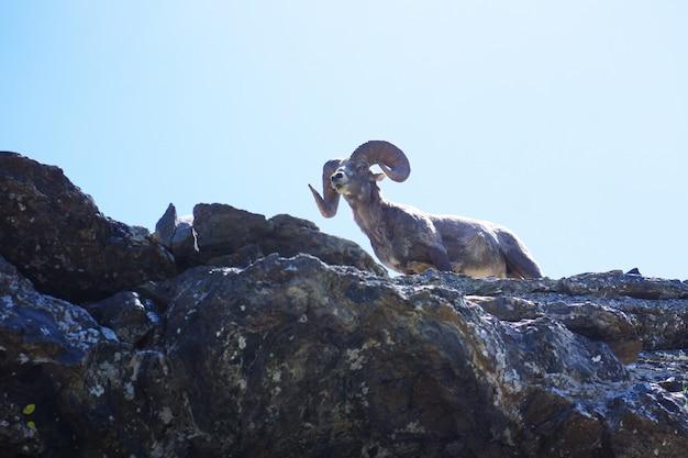 Flacher winkelschuss eines stumpfen schafs, das souverän auf einem felsen im glacier national park, montana stehend steht