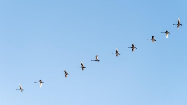 Flacher winkelschuss eines vogelschwarms, der unter einem klaren blauen himmel fliegt