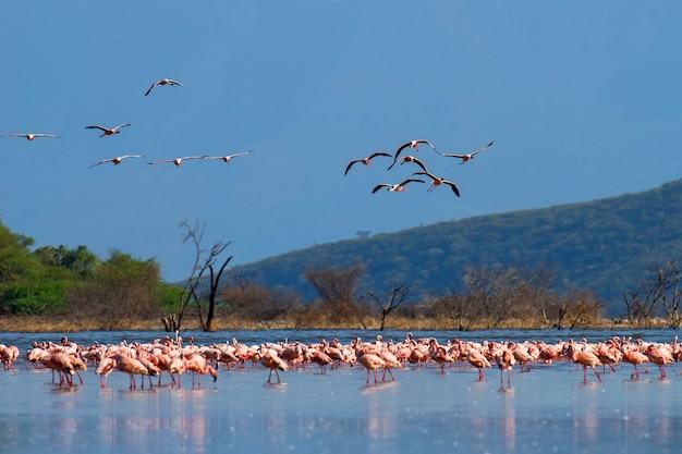 Flamingo-herde, die im flachen lagunenwasser watet