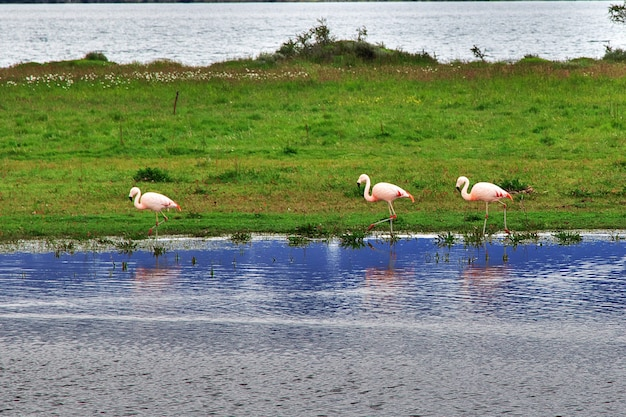 Flamingo im nationalpark torres del paine in patagonien von chile