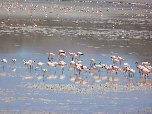 Flamingos andean lagune