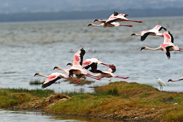 Flamingos im nationalpark lake nakuru africa