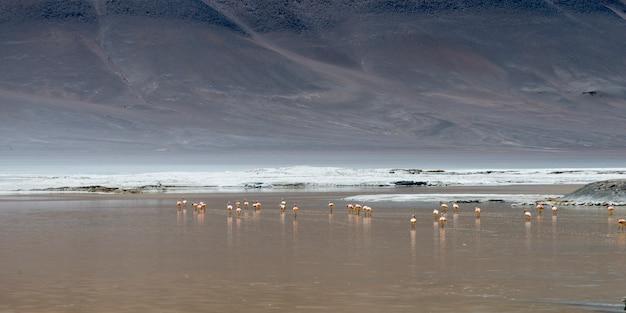 Flamingos in salar de pujsa, nationales reservat los flamencos, san pedro de atacama, provinz el loa,