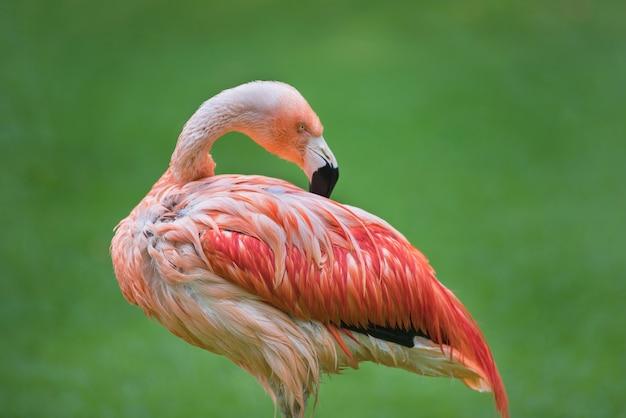 Flamingovogel auf grünem natürlichem hintergrund