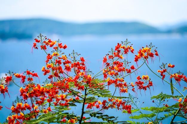 Flammenbaumblume, die in der sommerinsel und im meer blüht