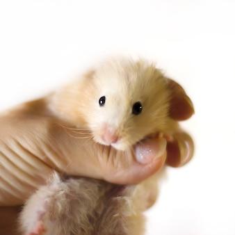 Flaumiger hamster wird in den handflächen gehalten