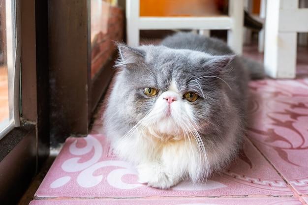 Flaumiges langes haar der persischen weißen grauen katze, das mit dem schauen liegt