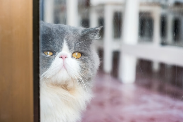 Flaumiges langes haar der persischen weißen grauen katze mit dem schauen durch glas