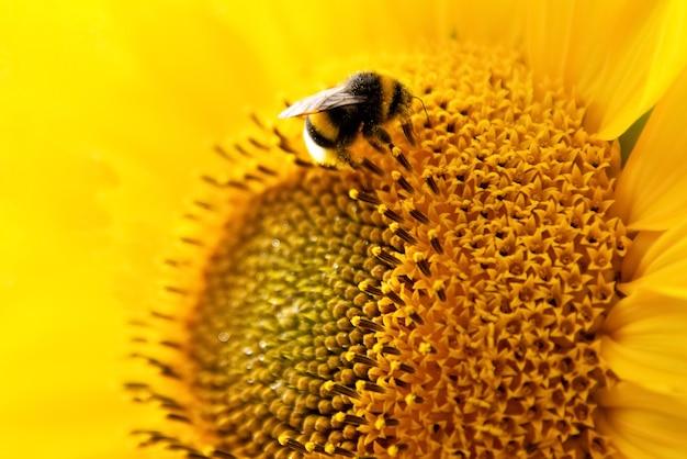 Flauschige biene sammelt nektar von sonnenblumenblume