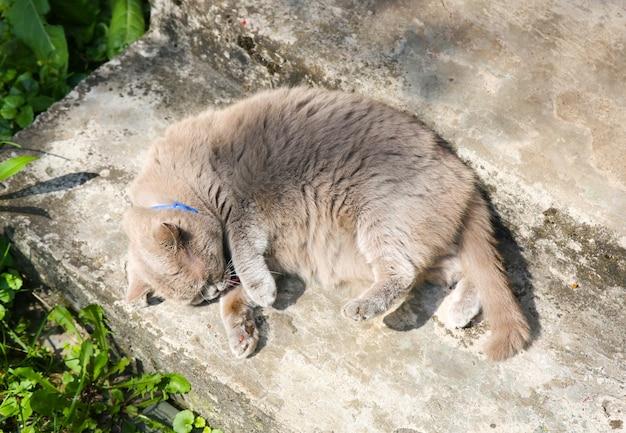Flauschige graue katze im freien. nettes haustier, das sich selbst wäscht. sommersonne genießen.