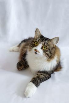 Flauschige katze mit großen augen, lügen