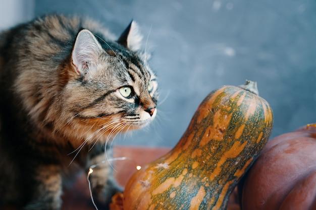 Flauschige katze mit kürbissen