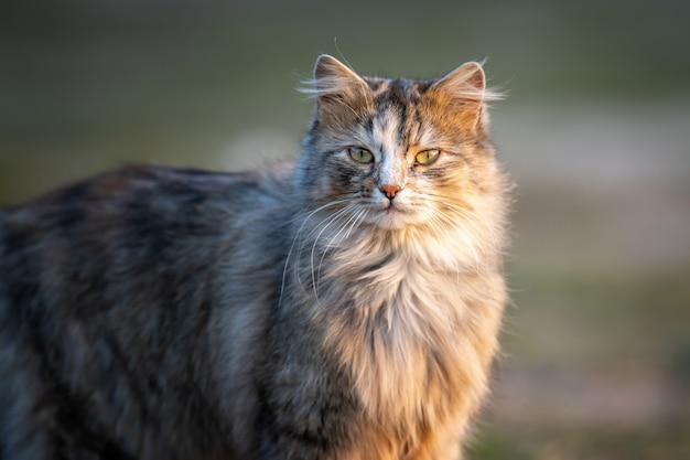 Flauschige katze mit langem fell sitzt abends im gras