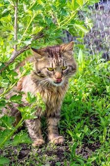 Flauschige katze sitzt im gras unter dem busch der stachelbeere und leckte