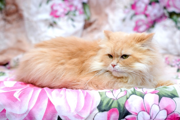 Flauschige persische rote katze