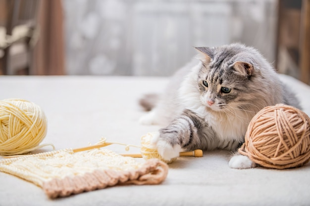 Flauschige süße graue katze spielt spaß mit knäueln aus verhedderten fäden, jagt nach einem knäuel
