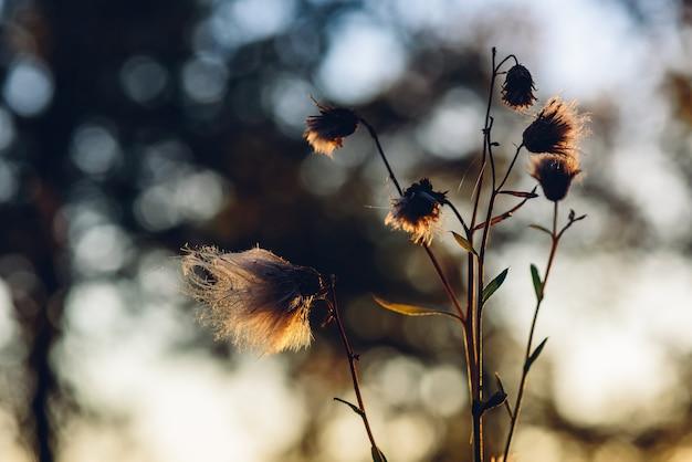 Flauschige trockenblumen im herbstlichen sonnenuntergangslicht