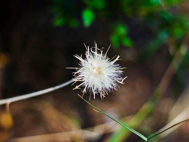 Flauschige weiße löwenzahnblume. makro, selektiver fokus