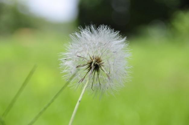Flauschiger löwenzahn, dent de leon flower, taraxacum, löwenzahn