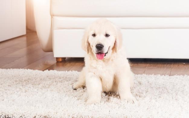 Flauschiger retriever-welpe, der zu hause auf teppich sitzt