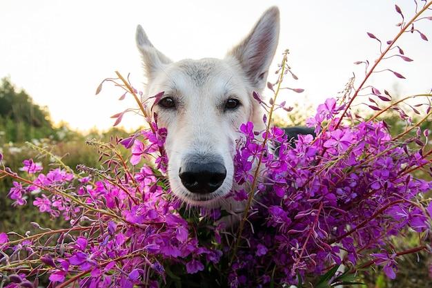 Flauschiger wolfshund, der die kamera anschaut, während er in der nähe von lebendigen frischen blumen steht, während er an einem bewölkten sommertag auf der grünen wiese ruht