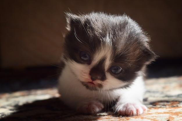 Flauschiges kätzchen mit einer schwarzen nase süß