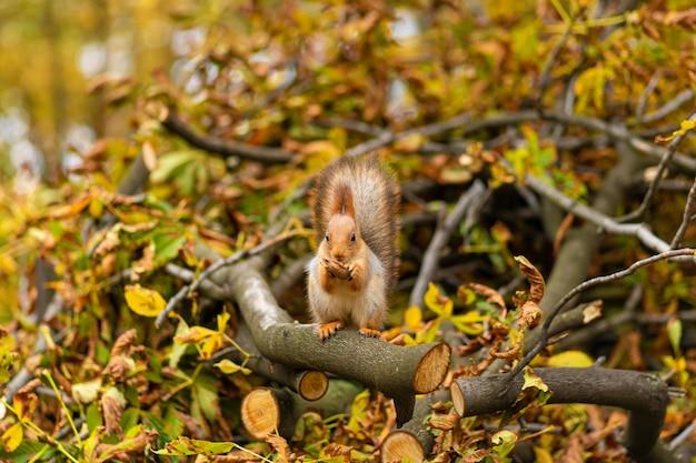 Flauschiges schönes eichhörnchen isst eine nuss auf einem ast eines gesägten baumes mit gelben blättern in einem herbstpark.