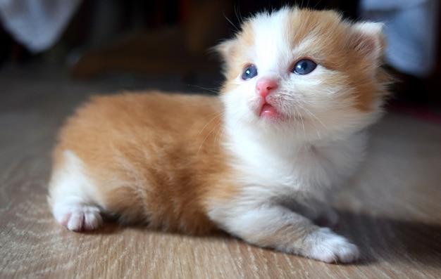 Flauschiges süßes kätzchen