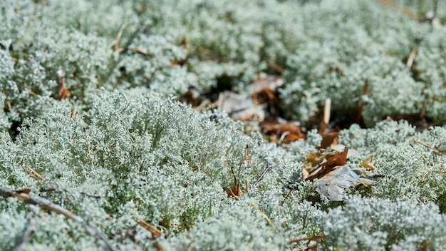Flechte cladonia rangiferina in der natur