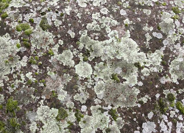 Flechtenstruktur auf grauem stein mit grünem moos. organischer hintergrund.
