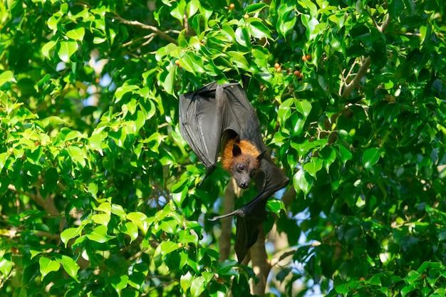 Fledermaus hängt an einem ast malaiische fledermaus