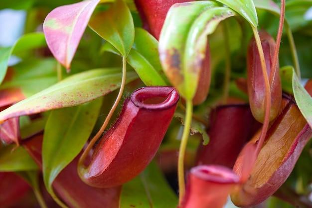 Fleischfressende pflanze, die insekten in einem botanischen garten fängt