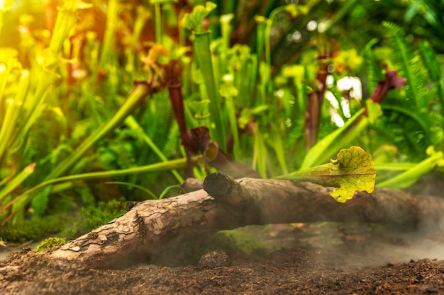 Fleischfressende pflanzen von nepenthes im morgennebel im regenwald