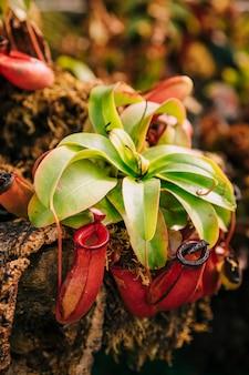 Fleischfressende tropische kannenpflanze nepenthes