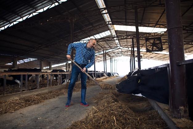 Fleißiger bauer mittleren alters, der heugabel hält und kühe mit heu auf rinderfarm füttert.