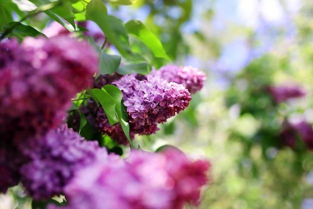 Flieder blüht. ein schöner haufen lila nahaufnahme. grüner zweig mit frühlingsfliederblüten. fliederbusch. fliederblumen auf baum im garten.