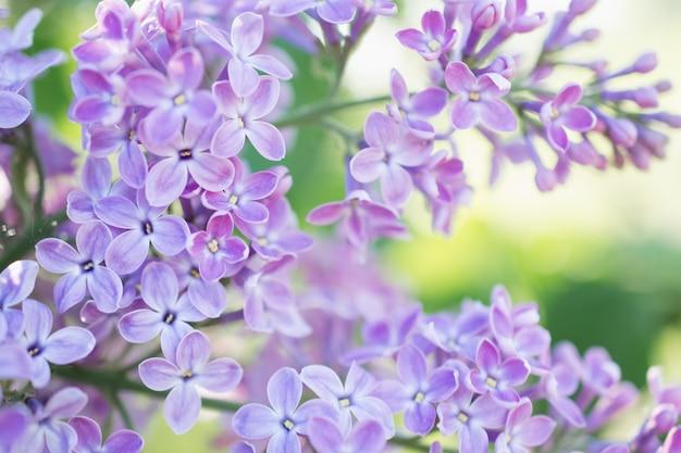 Fliederblüten blühen im frühlingsgarten. weicher selektiver fokus. frühlingssaison des natürlichen hintergrunds der blumen.