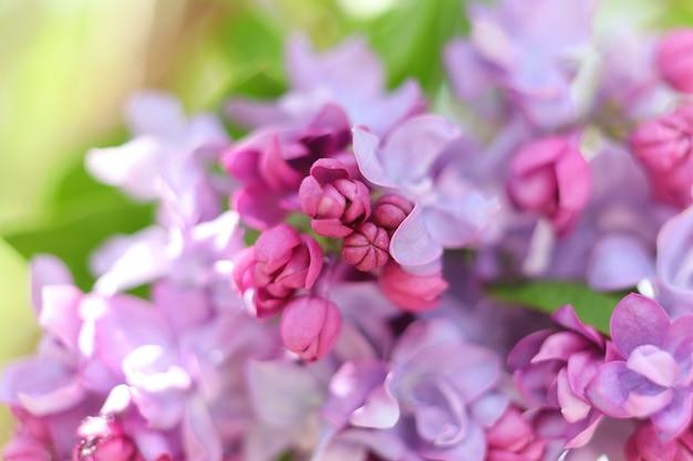 Fliederblumen. lila blüten im frühling