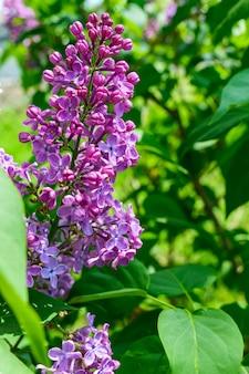 Fliederbüsche mit lila blüten unter den grünen blättern im garten. sonniger tag.