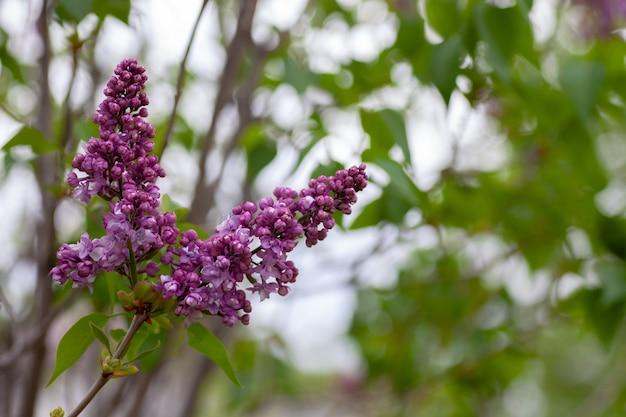 Fliederzweige im gartenstrauß aus rosa duftendem flieder im sommer und frühling mit kopierraum...
