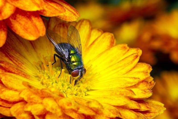 Fliege frisst pollen von gelber blume.