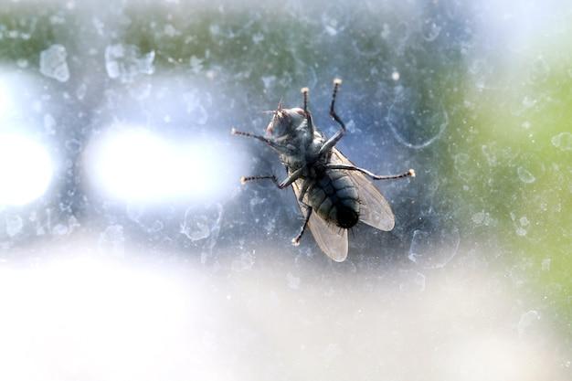 Fliege, hausfliege auf der windschutzscheibe schmutzig, chrysomya megacephala, musca domestica