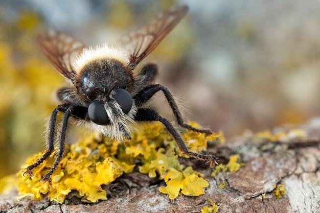 Fliege mit großen augen und behaartem gesicht sitzt auf einem ast mit gelben flechten