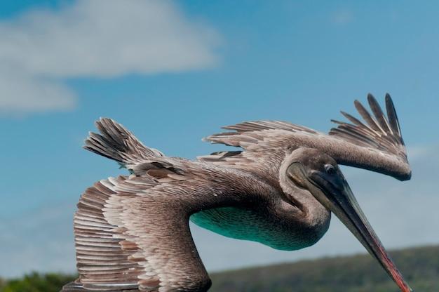 Fliegen des brown-pelikans (pelecanus occidentalis), san cristobal-insel, galapagos-inseln, ecuador