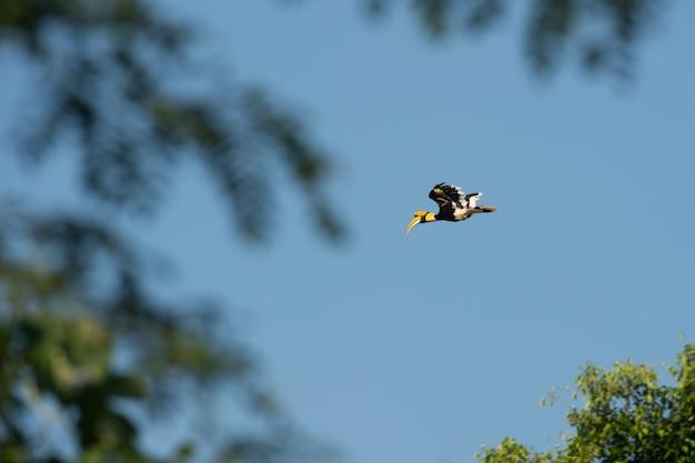 Fliegen des großen hornbills (buceros-bicornis) in der natur an nationalpark khaoyai, thailand